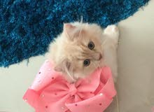 قطة شيرازية كيوت