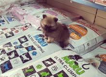 كلب بومرينيان Dog pomeranian للبيع