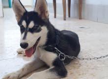 كلب هاسكي ذكر لون العينين عسليات