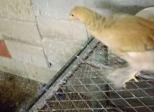 براهمه وصوص دجاج بياض