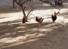 دجاج للبيع 12دجاجه 5فراريج