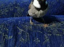 طيور ع السوم