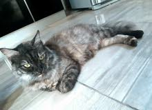 قطه شيرازيه حامل