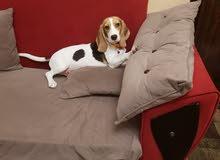 كلبة بيجل 4شهور لدواعى السفر لخارج