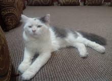 قطط  شيرازي البيع