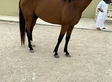 للبيع خيول  للقدره سعر خاص للجمله