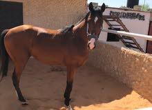 حصان انجليزي للبيع