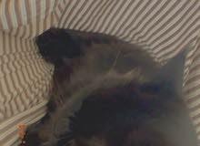 قط جميل و نوعه شيرازي قابل للتفوض