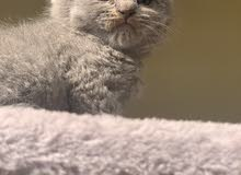premium quality Scottishfold kitten