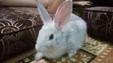 ارنب متوسط الحجم للبيع