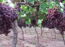 مزرعة  للبيع 137 فدان ( طريق مصر اسكندرية الصحراوى )