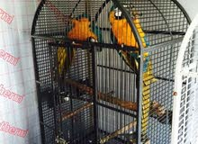 Baby Blue And Gold Macaws Very Tame