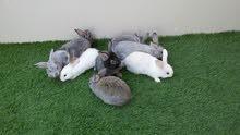 8 ارانب الكل ب 300 درهم