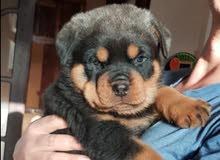 For Sale.... Superrr(Rottweiler)