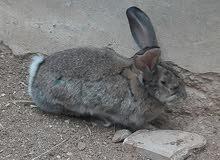 ارانب ألماني
