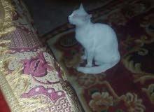 قط انغورا ابيض