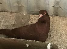 9 طيور كش للبيع