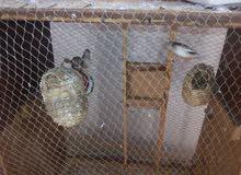 سجنة عصفير زيبرا للبيع