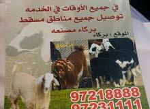 أغنام عمانيه البيع خدمات ذبح خدمات توصيل المنزل جميع منطقة مسقط/بركاء/مصنعه