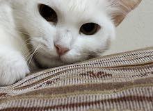 قطو انثى