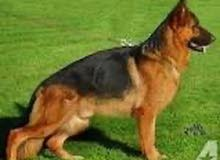 ابغي شراء كلب جيرمن شيبرد شو لاين انثي او روت وايلر انثي فقط
