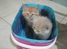 قطط إناث للبيع شهرين