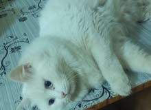 مطلوب قطه شيرازي