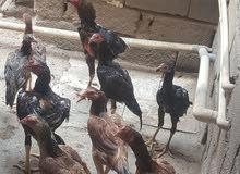دجاج هندي 4مخاليف ديجين ودجاجتين .وديج عمر 7 اشهر