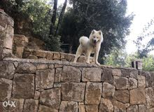 Samoyed dog for sale