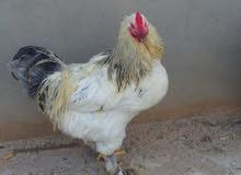 دجاج برهما للبيع فروج و2دججات وعتوقه