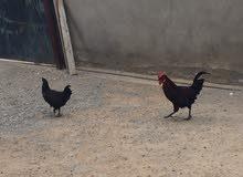 فروج ودجاجة عربيات الله يبارك دجاجه قريب دحي للبيع مستعجل استفسار 0910124148