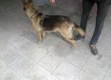 كلبة جيرمن للبيع الكلبة داخلة على حيض السعر 1.200 قابل للفصل
