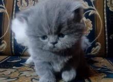 قطط هملاية وسيامي وشيراز وشنشيلا  وبريتش