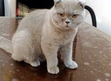 Scottish Fold Lilac - Male