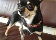 dog. for sell abudhabi