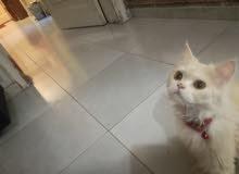 قطة للبيع