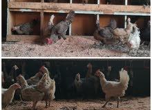 بيع دجاج عماني بياض