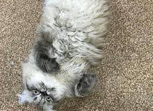 قطه  هيمالايا العمر 7 اشهر