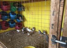 10 اجواز طيور جنه