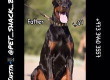 Doberman Dogs for sale // كلاب دوبر مان للبيع