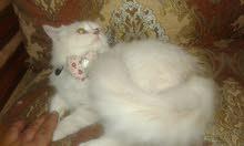 قطة دلوعة مرة صغيرة اسمها لوسي عمرها ثلاث شهور مطعمه معها جوازوحنونة باغراضها