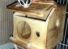 sugar glider White face