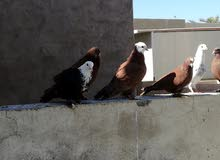طيور حمر للبيع