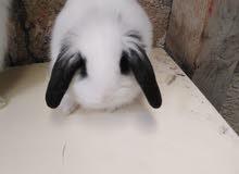 ارانب لوب هولندي بيور