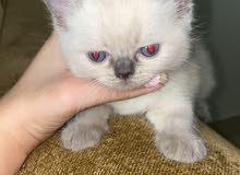 قطط :سيامي