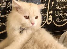 قط شيرازي + أنثى تركي