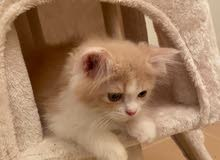 persian cat 2 months old aed 1200