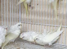 طيور هوقو للبيع