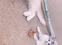 قطط شيرازية صغيره