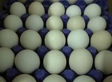 يتوفر لديه بيض مستورد للبط البكيني الفرنسي الأصلي للحجر هاتف + واتساب 07707308240